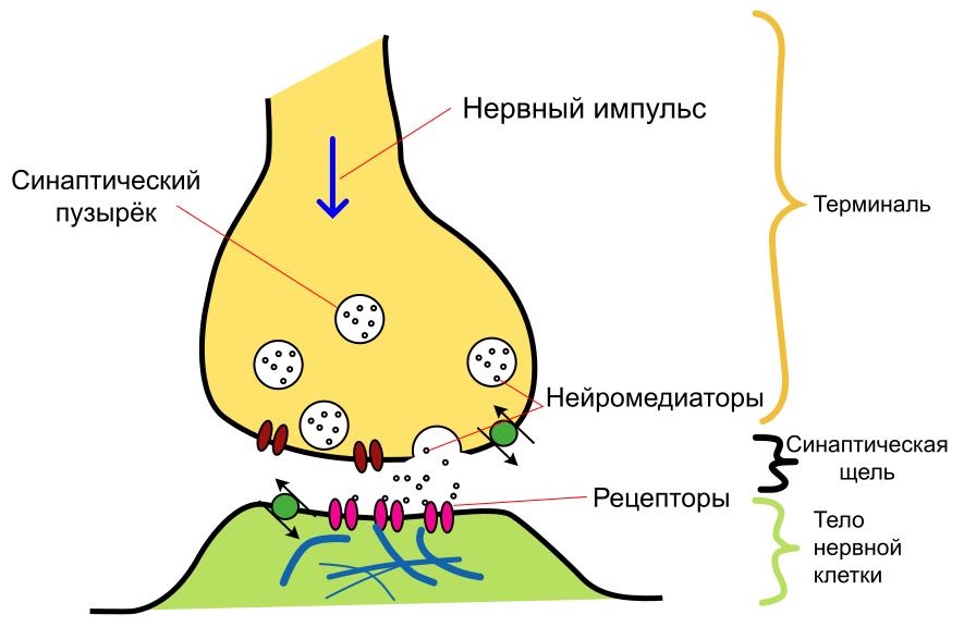 Neuron4.png