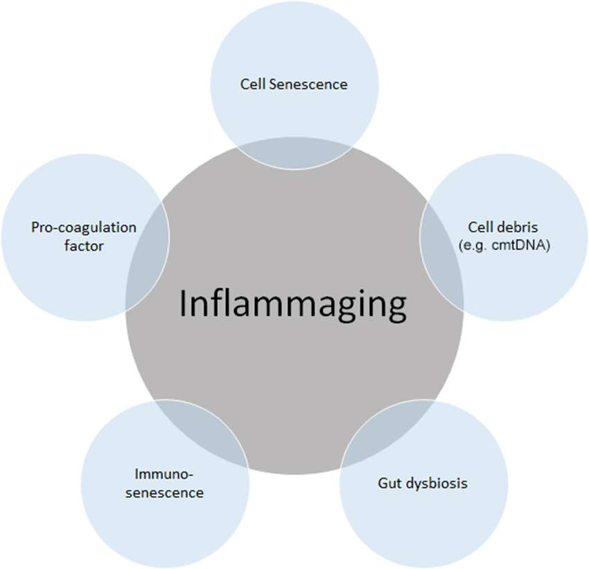 inflammaging.jpg